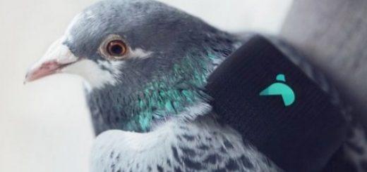 golubi-otpravljajut-soobshhenija-v-tvitter-o_1.jpg