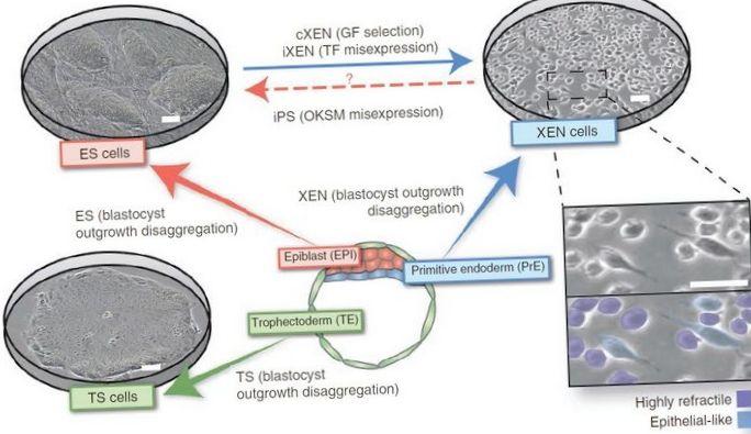 История открытия стволовых клеток