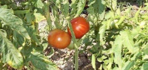 koblevo-pomidornyj-raj-materialy-dlja-agro_1.jpg