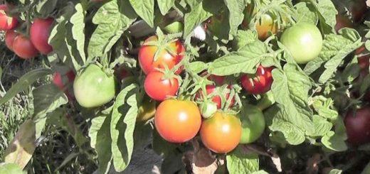 pochemu-umagazinnyh-pomidorov-kartonnyj-privkus_1.jpg