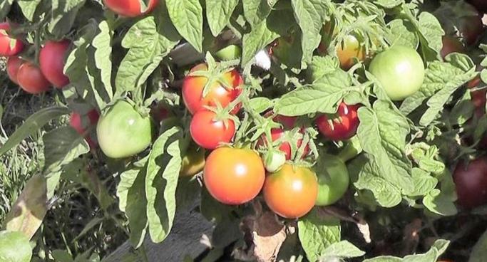 Почему умагазинных помидоров картонный привкус?