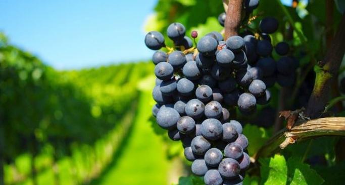 Полезные свойства сока винограда