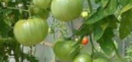 pomidory-bez-poliva-lichnyj-opyt-galiny-donovoj_1.jpg