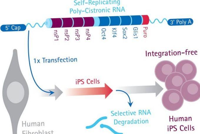Разгадана тайна стволовых клеток