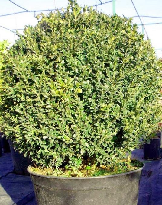 Самшит колхидский (buxus colchica) — обзор материалов по уходу за растением и обработке древесины