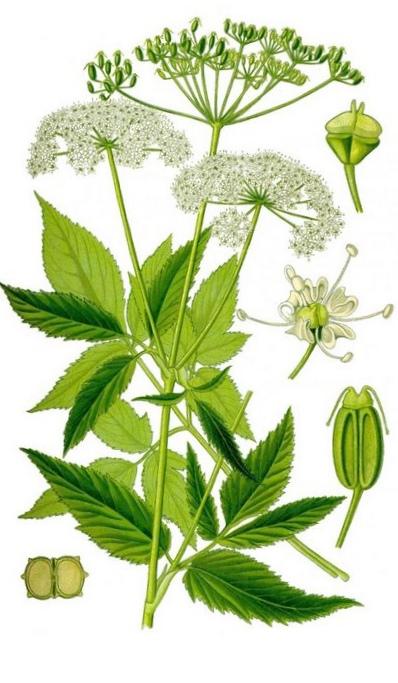 Сныть — травянистое растение со съедобными листьями и побегами