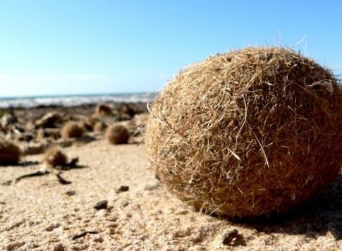 Строительная изоляция из «травы нептуна»