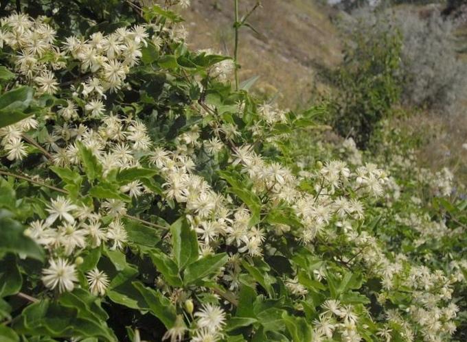 Тамарикс (гребенщик): лечебные свойства, применение и рецепты