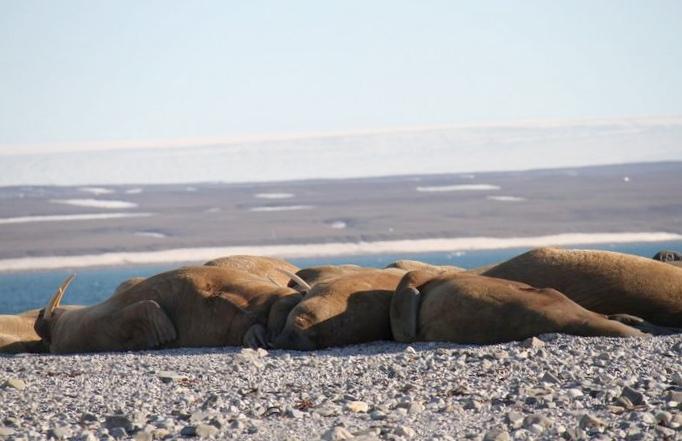 Wwf и «сканэкс» подвели итоги летнего сезона спутниковой съемки моржей