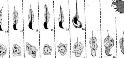 y-hromosoma-nenuzhna-dlja-razmnozhenija_1.jpg
