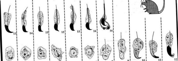 Y-хромосома ненужна для размножения